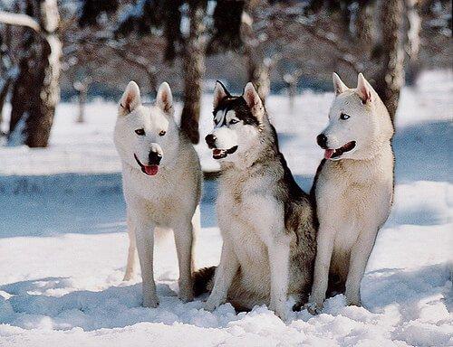 siberianische Huskys brauchen keine Bekleidung für Haustiere