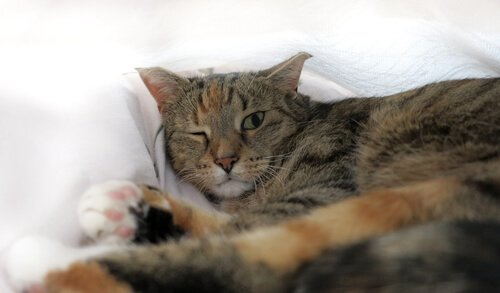 Symptome der Regenbogenhautentzündung bei Katzen