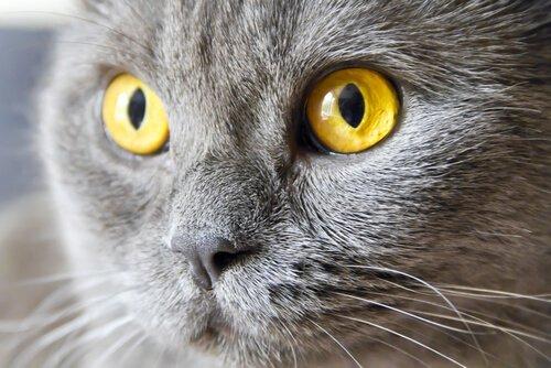 Ursachen der Regenbogenhautentzüdung bei Katzen
