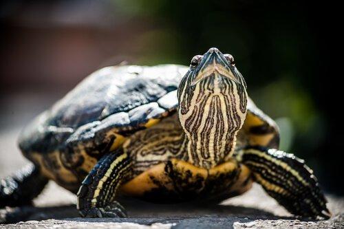 Vom Aussterben bedrohte Schildkröten