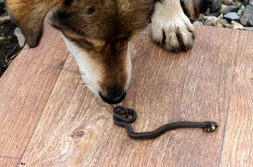 Schlangenbiss bei Hunden: Was ist zu tun?