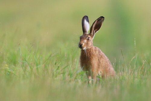 Es gibt viele Gründe, warum der Hase vom Aussterben bedroht ist.