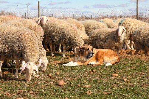 Stimmbänder von Haustieren durchtrennen
