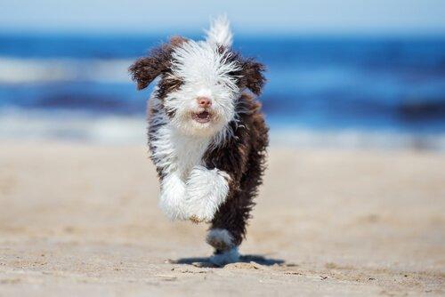 Tipps, um einen Wasserhund zu bürsten