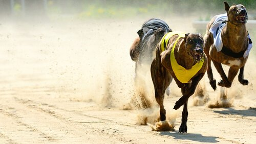 Windhunde im Rennen