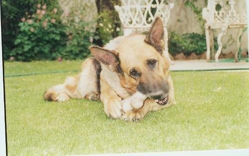 Zahnpflegeknochen für Hunde dürfen nur in Maßen gefüttert werden.