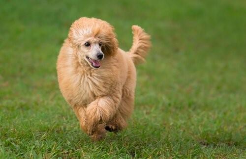 5 ideale Hunde für kleine Wohnungen - Pudel