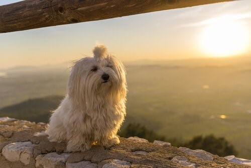 5 ideale Hunde für kleine Wohnungen - Malteser