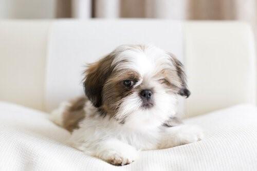 5 ideale Hunde für kleine Wohnungen - Shih Tzu