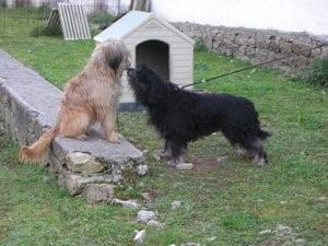 Der Katalanische Schäferhund - Wachhund
