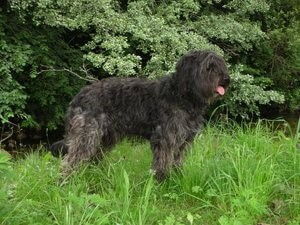 Der Katalanische Schäferhund - schwarz