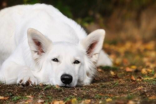 Der Weiße Schweizer Schäferhund - Liegend