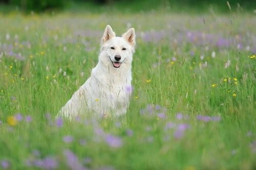Der Weiße Schweizer Schäferhund: schön und intelligent