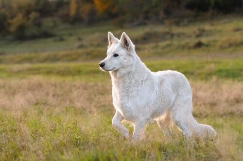 Der Weiße Schweizer Schäferhund - intelligent