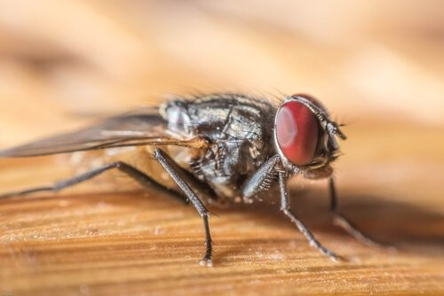 Die Tiere mit der kürzesten Lebenserwartung - Fliege