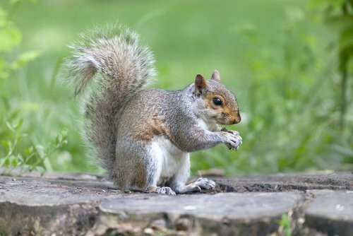 Die Tiere mit der kürzesten Lebenserwartung - Eichhörnchen