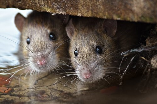 Die Tiere mit der kürzesten Lebenserwartung - Maus