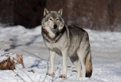 Die Tiere mit der kürzesten Lebenserwartung - Wolf