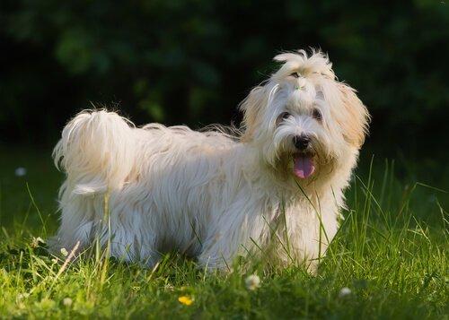 Havaneser, eine Hunderasse aus Kuba