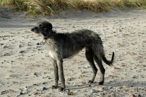 Hunderassen der schottischen Highlands - Deerhound