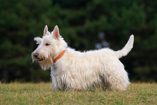 Hunderassen der schottischen Highlands - Scottish Terrier