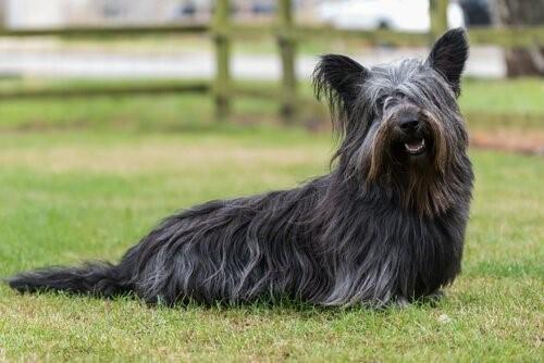 Hunderassen der schottischen Highlands - Skye Terrier