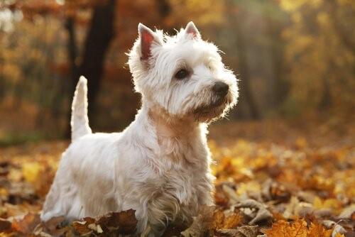 Hunderassen der schottischen Highlands - West Highland White Terrier
