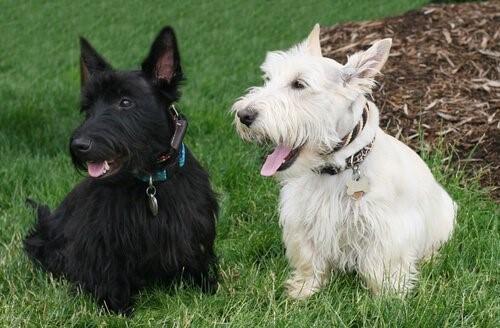 Hunderassen mit kurzen Beinen - Scottish Terrier