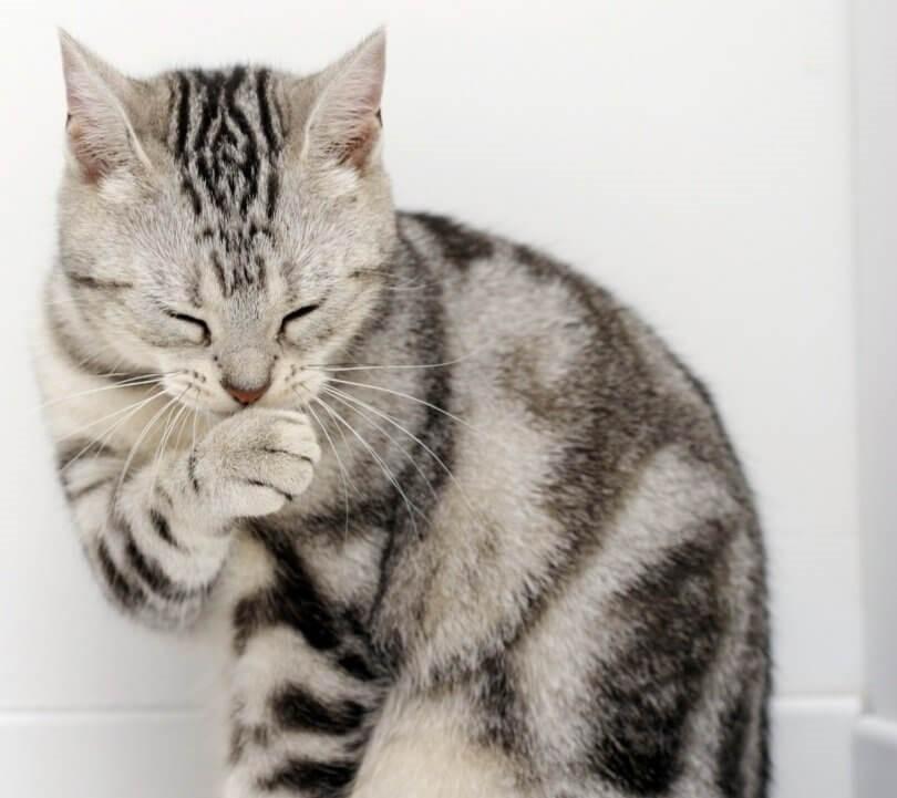 Katzenschnupfen - Katze putzt sich