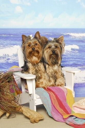 Outfits für deinen Yorkshire Terrier - Am Strand