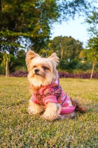 Outfits für deinen Yorkshire Terrier - Picknick