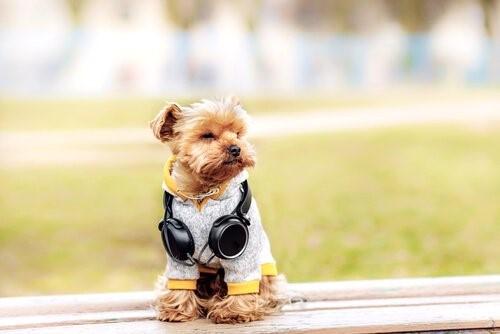 6 Outfits für deinen Yorkshire Terrier