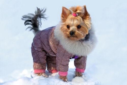Outfits für deinen Yorkshire Terrier - Schneeanzug