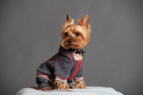 Outfits für deinen Yorkshire Terrier - Trainingsanzug
