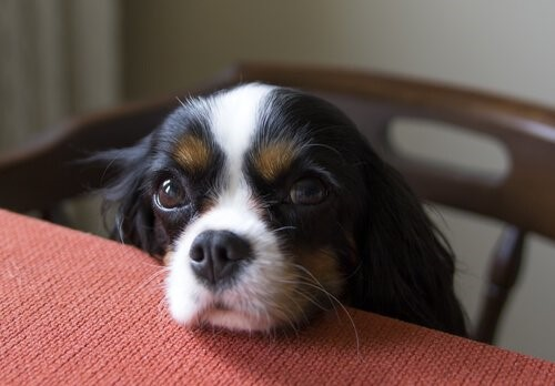 Tipps um zu verhindern, dass dein Hund Essen klaut - Hund am Tisch