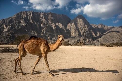 Unterschiede zwischen Kamelen und Dromedaren - Kamel in Wüste
