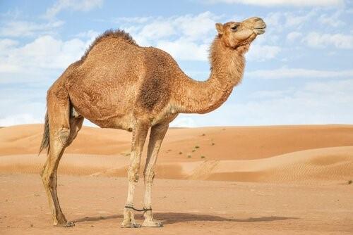 Unterschiede zwischen Kamelen und Dromedaren - Kamel
