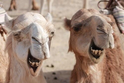 Unterschiede zwischen dem Kamel und dem Dromedar
