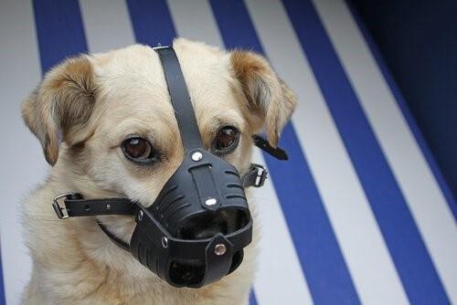 Wie desinfiziere ich die Wunden meines Hundes zu Hause - Hund mit Maulkorb