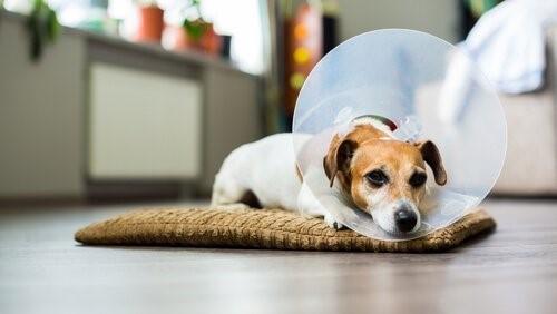 Wie desinfiziere ich die Wunden meines Hundes?