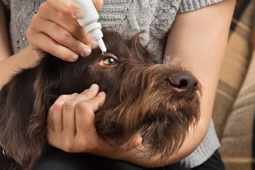 Wie man Haustieren Medikamente verabreicht - Augentropfen