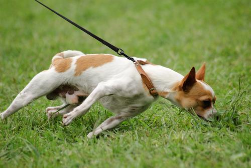 Hunde sollten beim Spaziergang nicht ständig an der Leine ziehen
