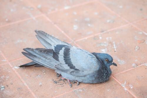 Tauben leiden durch fehlende Hygiene oft unter Erkrankungen