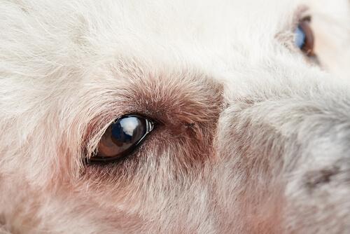 Erste Anzeichen von Bindehautentzündung bei Hunden