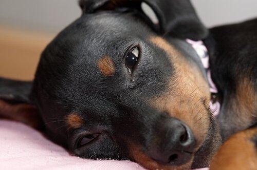 Bindehautentzündung bei Hunden zeigt sich im Verhalten des Tieres