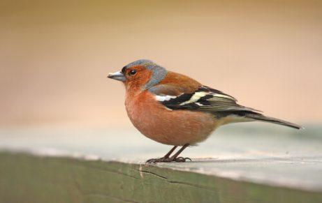 Der Buchfink und sein Gesang