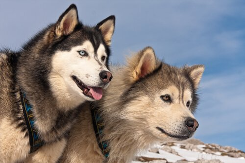 Unterschiede zwischen Alaskan Malamute und Siberian Husky
