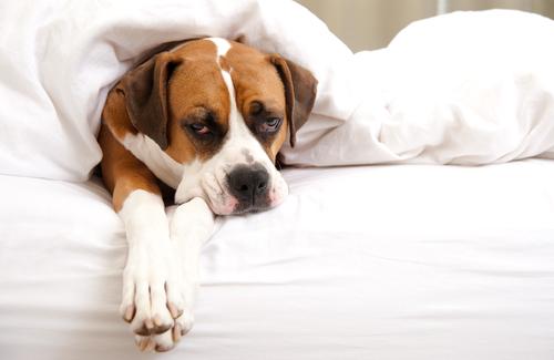 Fieber bei einem Haustier lindern