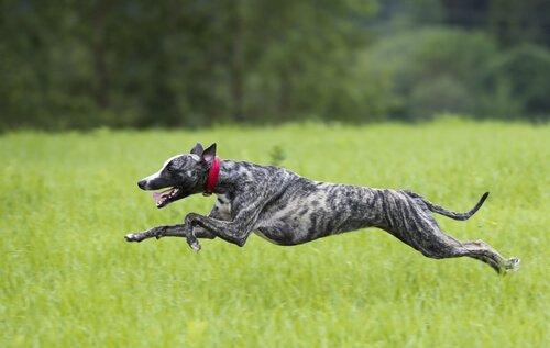 Großes Herz, schneller Hund