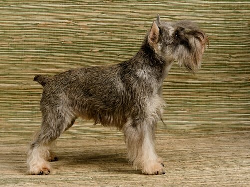 Die Hunde, die am meisten bellen: Zwergschnauzer